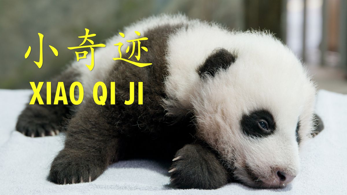 """After five days of voting and just under 135,000 votes, the panda cub at the Smithsonian's National Zoo is named Xiao Qi Ji (SHIAU-chi-ji), which translates as """"little miracle"""" in English."""
