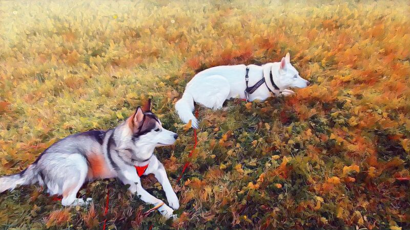 Color photo of two huskies, a white female and a gray and while male, laying on a grassy lawn